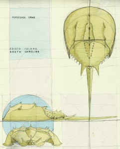DOARCH_HORSESHOECRAB